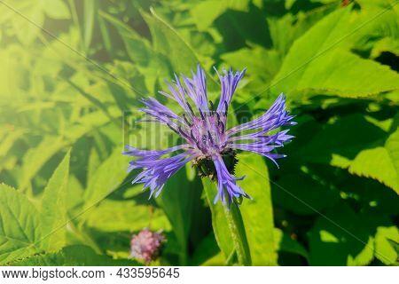 A Beautiful Blue Cornflower Blooms In A Green Meadow