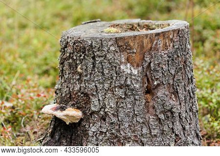 Stump From A Pine Tree With A Woody Mushroom On A Background Of Grass