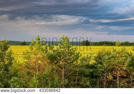 Young Pine Trees On The Background Of A Yellow Field Of Sunflowers On A Summer Day. Gloomy Sky With