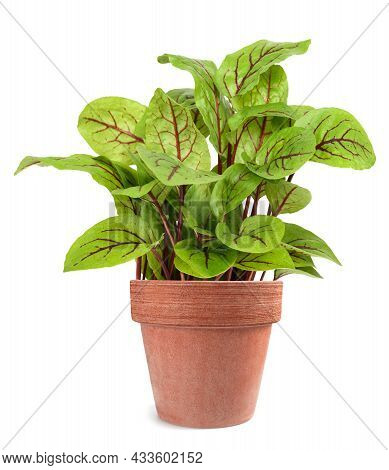 Red Veined Sorrel In Vase Isolated On White Background