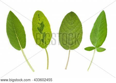 Various Types Of Sage Leaves Isolated On White Background