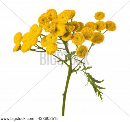 Tansy (tanacetum Vulgare) Isolated On White Background