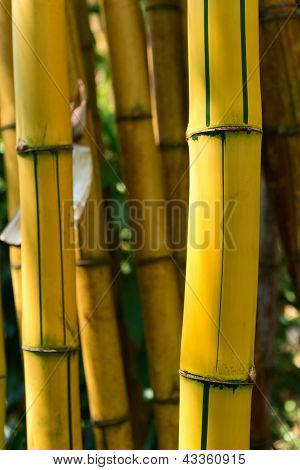 Yellow Bamboo Forest
