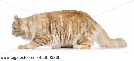 Handsome Young Adult American Curl Longhair Cat, Walking Side Ways Showing Profile And Curled Ears.