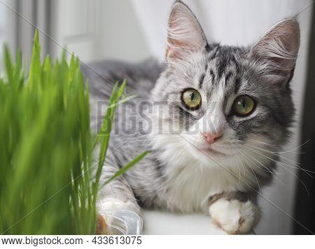 Beautiful Cute Grey Fluffy Cat Eating Fresh Green Grass On Windowsill. Pet Grass. Sprouted Oats. Hea