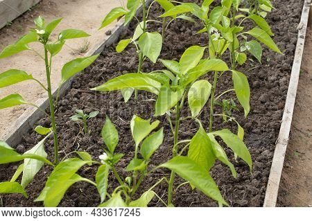 Pepper Seedlings In The Greenhouse. Young Seedlings Of Pepper In A Greenhouse