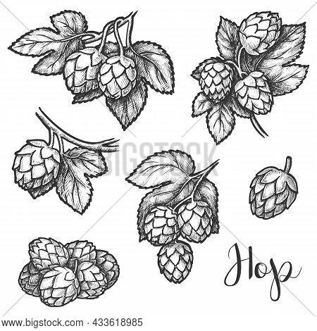 Hops Sketch, Vector Beer Brewing Ingredient Design. Hand Drawn Pencil Sketch Of Hop Flower Seeds Or