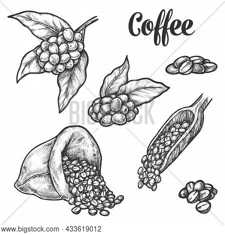 Coffee Beans Sketch, Vector Illustration. Coffee Tree Beans In Bag Sack And Scoop, Roasted Arabica C