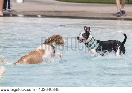 Two Mixed Breed Dogs Playing And Splashing In A Swimming Pool