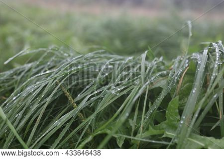 Rain Drops On Green Grass, Natural Texture For Background