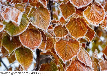 Frost-covered Dry Leaves On A Tree Branch. Frosty Morning In The Garden