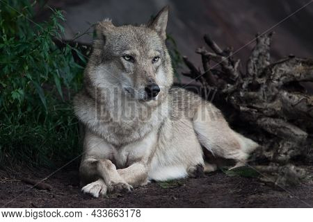 A Proud Gray Wolf With Attentive Eyes Lies On The Ground Of Summer Half-turned In The Forest Close-u