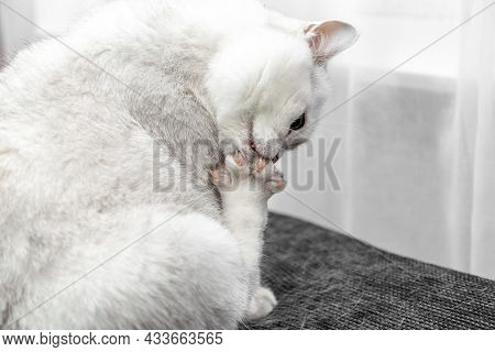Close-up Of A Cats Claws. The White Cat Washes Himself With His Tongue. How To Deal With Cat Hair. C