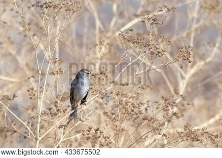A Small Immature White Crowned Sparrow  Is Perched On A Twig In The Saltese Flats Area Of Liberty La