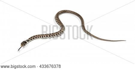 Grass snake crawling, Natrix natrix, Isolated on white