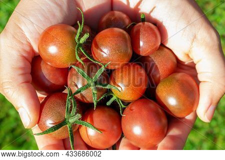 Ripe Red Cherry Tomatoes In Womans Hand. Farmer Holding Tomatoes Harvest In Hands In Summer. Top Vie