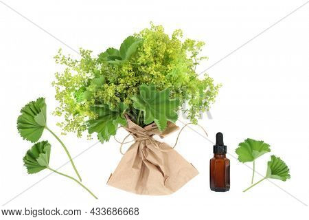 Ladies mantle herb used in natural herbal plant medicine, treats menstrual, menopausal problems, is anti inflammatory. Used to heal skin ailments. With essential oil bottle on white.