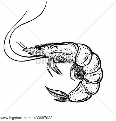 Fresh Shrimp Vector Icon. Hand-drawn Illustration Isolated On White. Crustacean Sketch. Sea Animal I