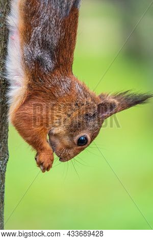 Squirrel Eats A Nut While Sitting Upside Down On A Tree Trunk