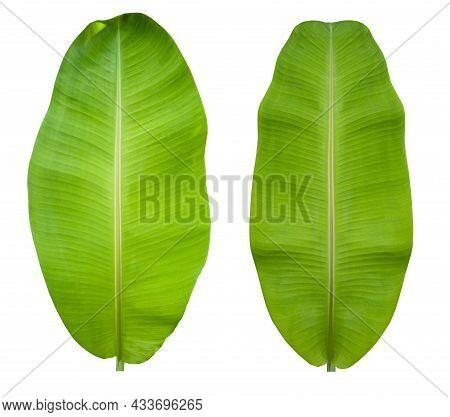 2 Large Banana Leafs, White Background, Thailand, Asia.