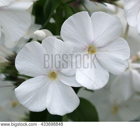 Phlox Flowers Close-up View, White Phlox Flowers In A Garden