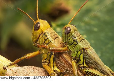 Two grasshopper insects on the plant in mating position