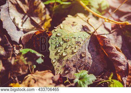 Autumn Background-aspen Leaves Fallen Leaves Lying On The Grass