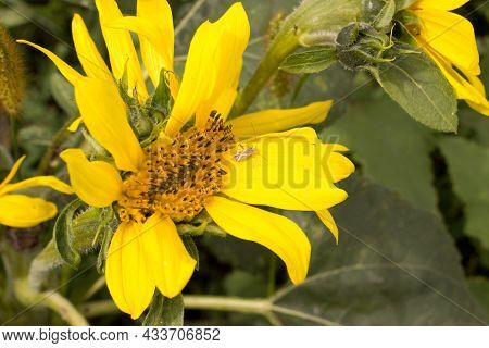 Detail Of Sunflowers With Miridae Plant Bugs