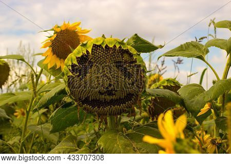 Field With Sunflowers. Sunflower With Face. Sky With Clouds Illuminated By The Sun.
