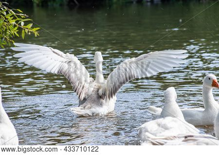 Group Of Domestic White Farm Geese Swim And Splash Water Drops In Dirty Muddy Water, Enjoy First War
