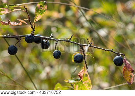 Blackthorn Sloe Or Prunus Spinosa Growing On A Tree Branch