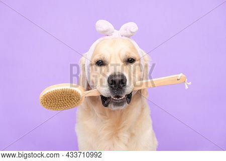 Dog At The Spa With A Towel On His Head And A Body Brush. Golden Retriever Sits On A Purple Backgrou