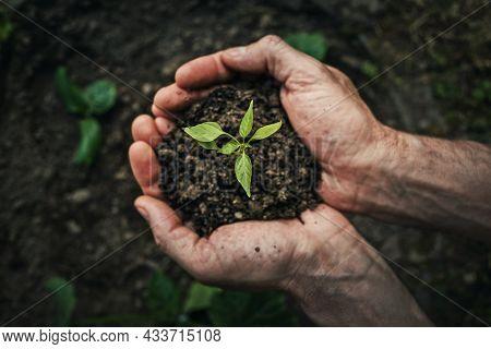 Gardener Man Hands Close-up As Holds Fertile Soil With Growing Green Seedling. Spring Garden Plantin