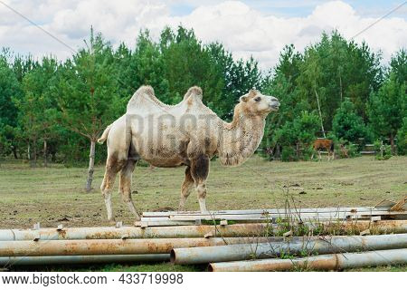 Two-humped Camel In Corral With A Foal Of A Horse, Russian Animal Farm