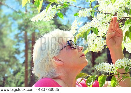 Senior Woman Holds A Branch Of Blossoming Spring Flowers Of Bird Cherry Tree In Hands. Close Up Port