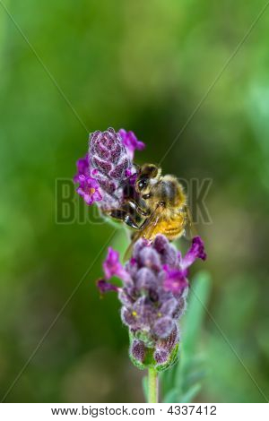 Closeup of Bee on Spanish Lavendar with Green Background poster