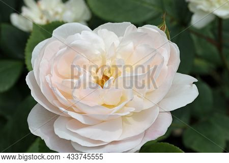 Pale Pink Rose Flower, Rosa Species Of Unknown Variety, In Close Up With A Background Of Blurred Lea