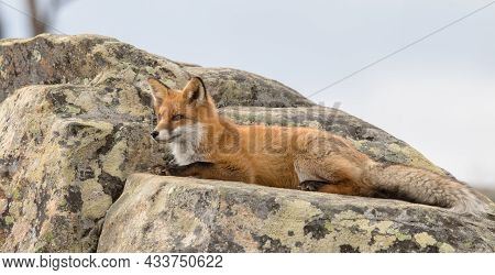 Portrait Of A Red Fox Vulpes Vulpes Resting On A Rock