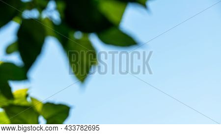 Branch Trees Against Blue Sky, Bottom View. Natural Green Leave Tree Background