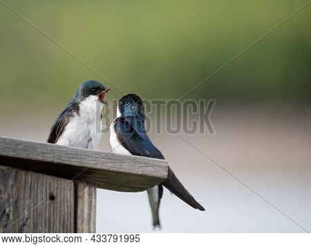 Pair Of Tree Swallows With Spring Plumage Perched On Top Of A Wooden Nesting Box And Photographed Wi
