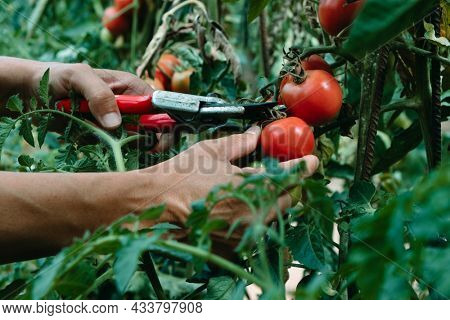 a young caucasian man collects some ripe tomatoes using a pair of pruning shears in a plantation