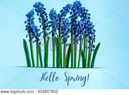 Hello Spring Postcard Layout. Spring Modern Still Life. Blue Muscari Flowers Growing From Rectangula