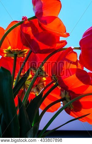 Red Tulip Flowers In The Garden. Beautiful Tulips During The Flowering Period. Hybrid Variety. Selec