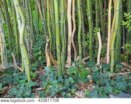 Bambusa Bamboo Is A Genus Of Perennial Evergreens In The Poaceae Family Of Cereals, From The Bambuse