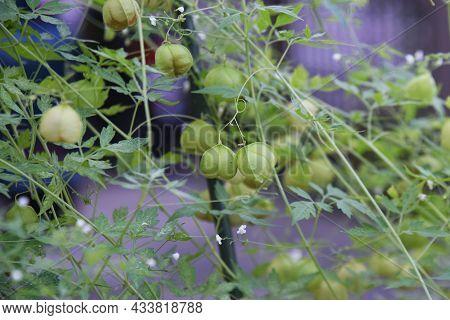 Balloon Vine Flowers, Fruits And Seeds. Sapindaceae Vine Plants.