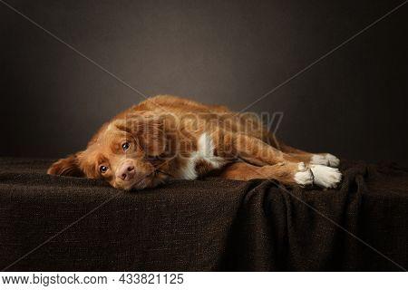 Charming Dog. Nova Scotia Duck Tolling Retriever, Toller. Pink Nose