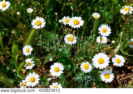 Daisy Bloom Time . Flowering Plants In Springtime . Wild Flowers And Grass