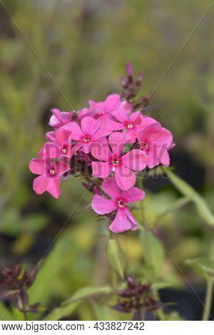 Perennial Phlox Flowers - Latin Name - Phlox Paniculata