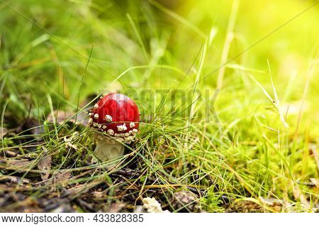 Small Toadstool, Amanita Muscaria, Poisonous Mushroom In Sunny Day In Natural Forest Background. Aut