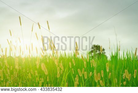 Blurred Golden Grass Flower With Cloudy Sky In Rainy Season. Green Rice Field With Grass Flower. Ric